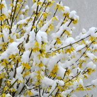 Forsycja  w zimowej szacie