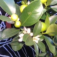 Kalamondyna kwiaty i owoce na drzewku