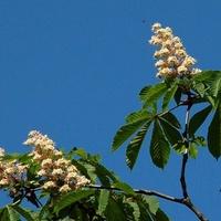 Kasztanowiec kwitnący