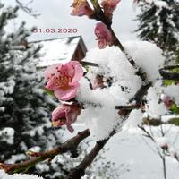 Kwiaty brzoskwini w śniegu