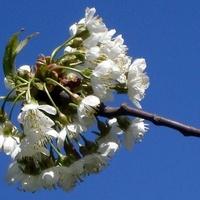 kwitnąca miotełka