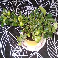 * Limequat  *