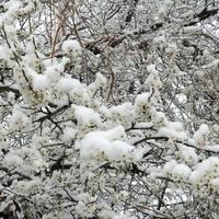 Śliwa mirabelka w zimowej szacie