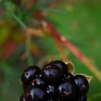 owoce czarne na gałązce.
