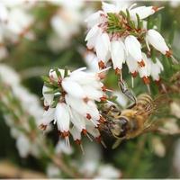 Pszczółka na wrzośćcu...