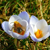 pszczolinka ......