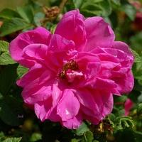 róża lekko zapłakana