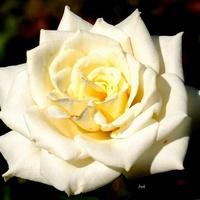 róża w kolorze ekri