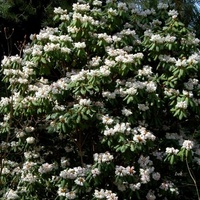 Różanecznik Purdona