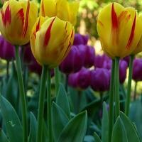 tulipany w paski