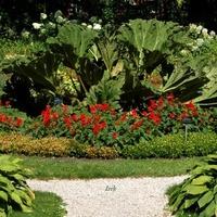 gunnera olbrzymia w ogr. botanicznym.