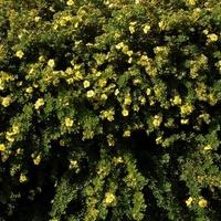 Żywopłot kwitnący na żółto