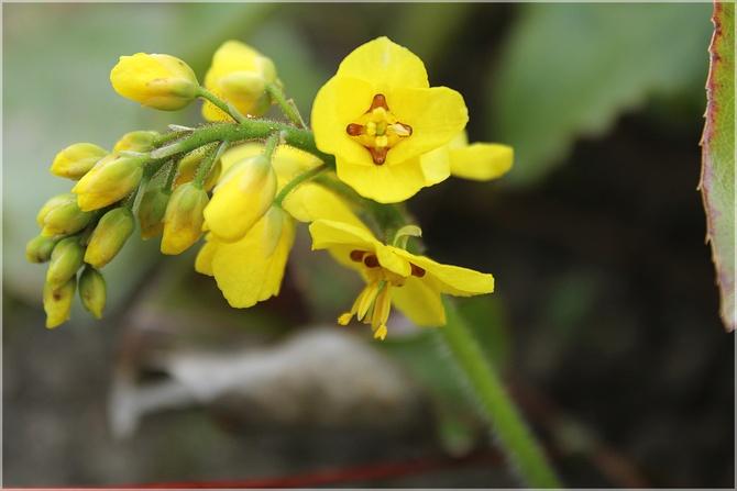 Epimedium żółte...
