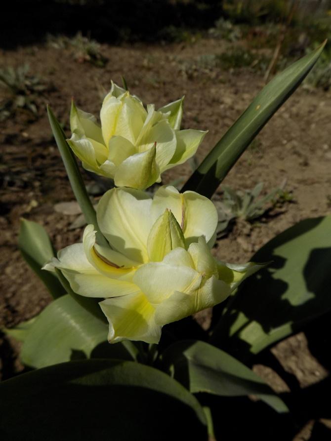 I jeszcze takie tulipany :)