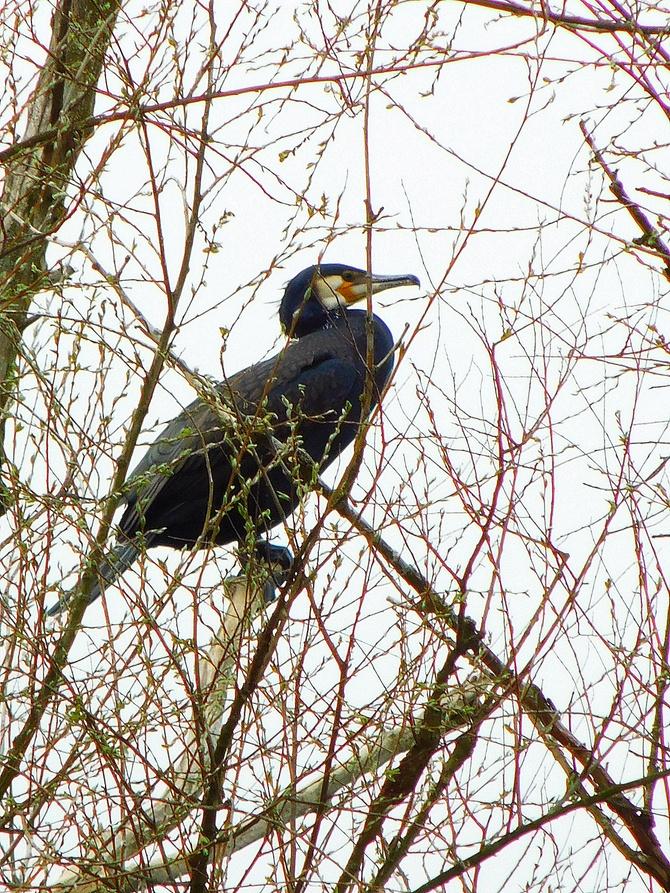 kormoran zwyczajny ....