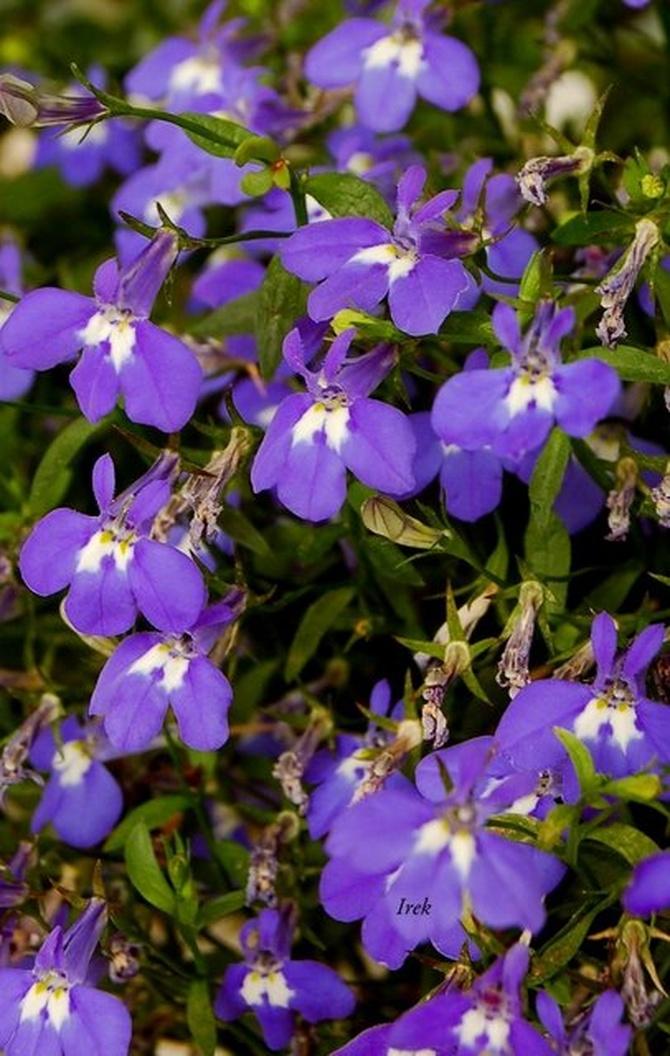 kwiatki przekwitające