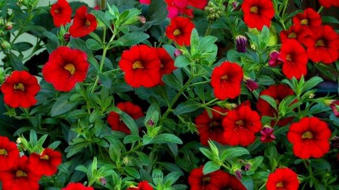 kwiaty czerwone, petunie?