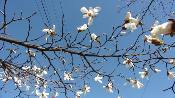 Magnolia w świątecznym błękicie.