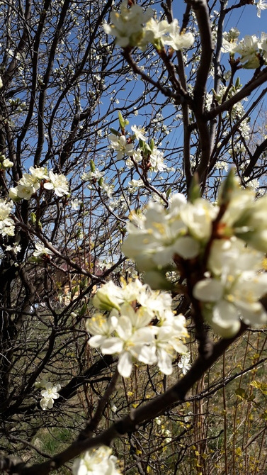 Mimo suszy, kwitnie.