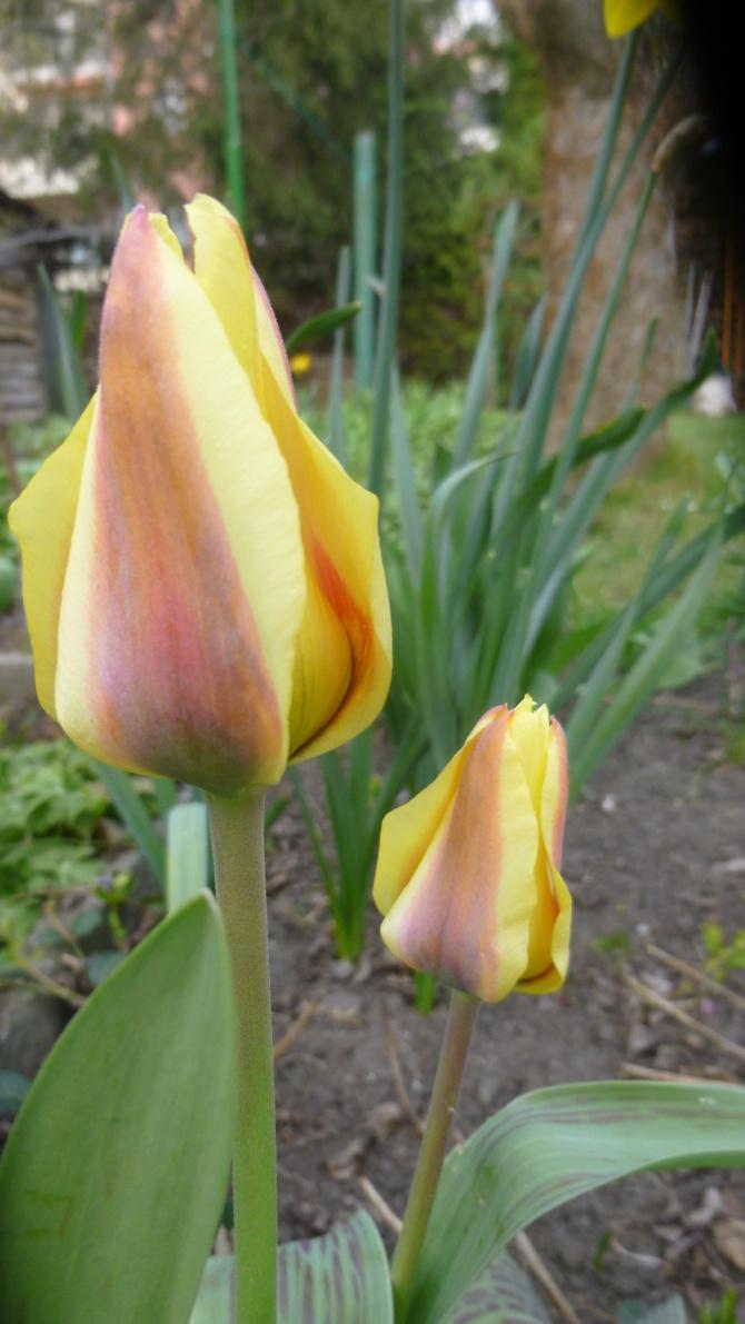 Może zrobimy ,,tulipanowy wtorek