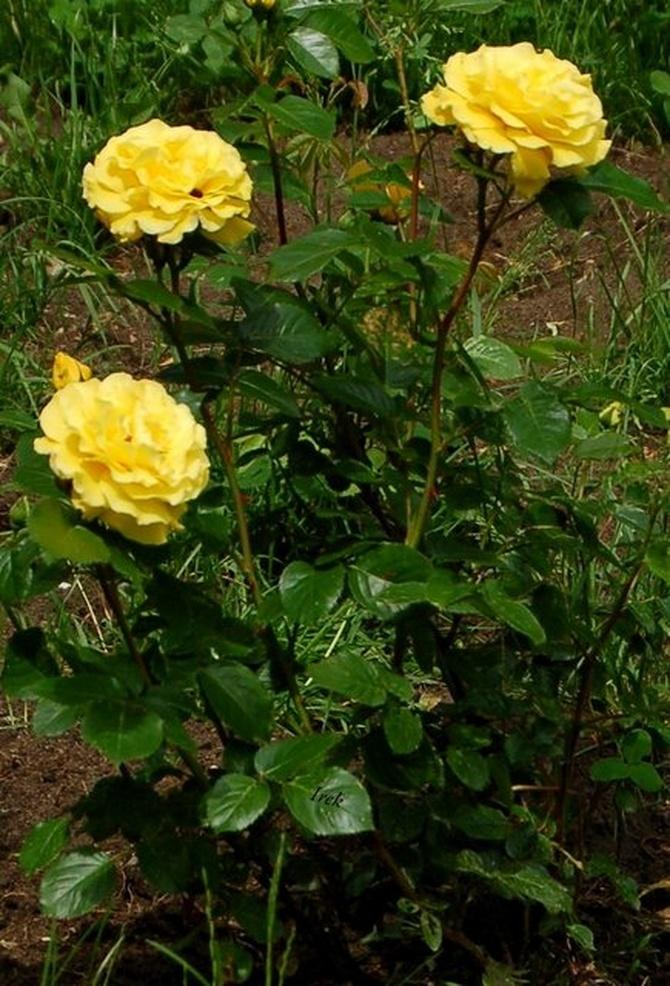 żółte róże