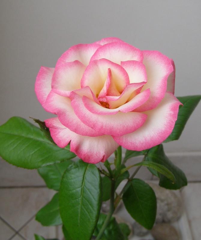 Róża o nazwie MOZART