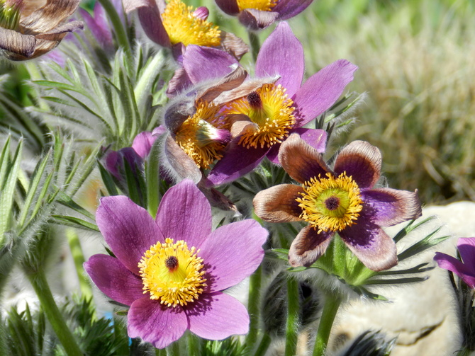 Sasanki kwitną