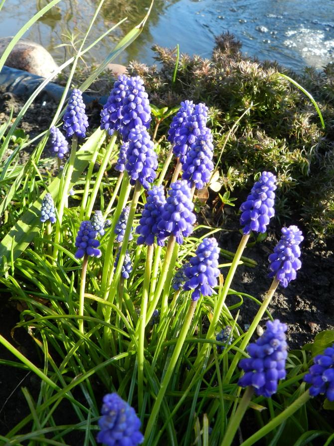 Szafirki ,wiosenne kwiaty