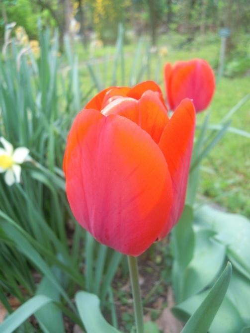 tulipanek...