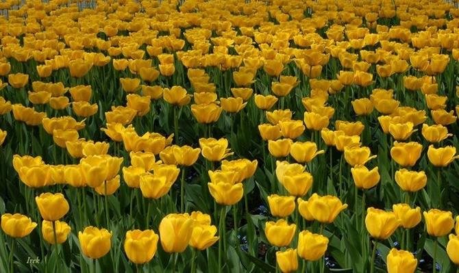 Tulipany dla Was