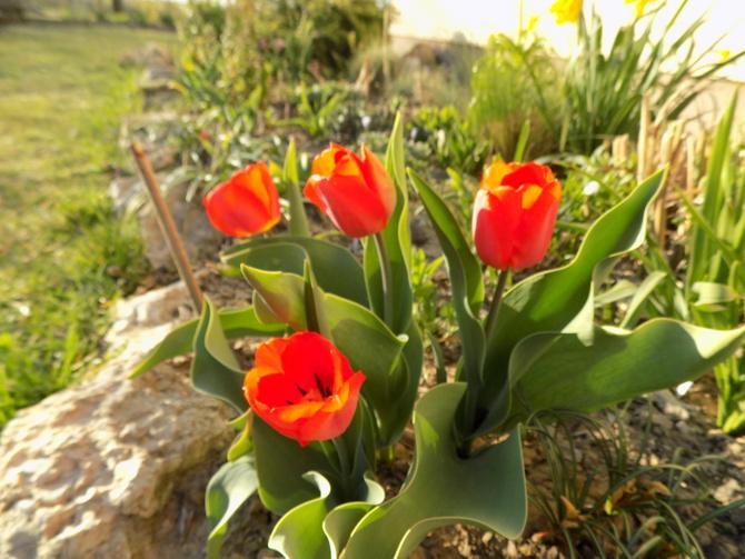 Tulipany szturmują :)