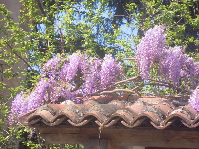 ...wisteria...