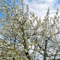 Czereśnia ,kwitną drzewa owocowe