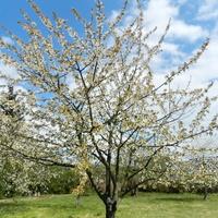 Czereśnia,kwitną drzewa owocowe
