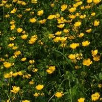 Łączka z żółtymi kwiatkami.