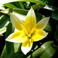 Dzisiaj tulipanki pozamykane