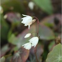 Epimedium diphyllum...