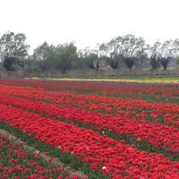 Gołuski k.Poznania  Tulipany !!