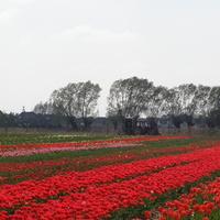 Gołuski k.Poznania  Tulipany