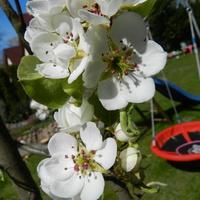 Grusza, kwitną drzewa owocowe