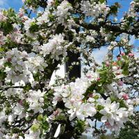 Jabłoń,kwitną drzewa owocowe