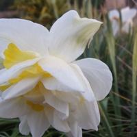 Jeszcze żonkilek chć już tulipany rządzą.