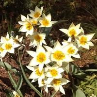 Jeszcze raz z okazji tulipanowego wtorku