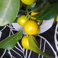 Kalamondyna owoce już prawie dobre do zjedzenia