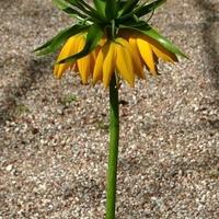 korona żółta (przyjazna)