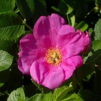 królowa róża