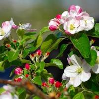 Kwiat jabłoni...