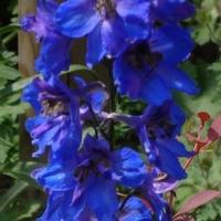 kwiat niebieski
