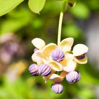 Kwiatek akebii