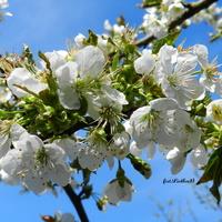 Kwiaty czereśni na tle błękitnego nieba